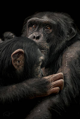 Chimpanzee Photograph - Tenderness by Paul Neville