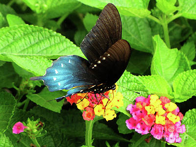 Photograph - Tennessee Blue And Black Wing Butterfly by Ron Tackett