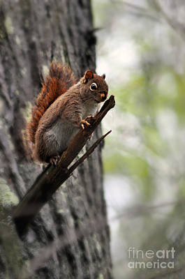 Photograph - Tennessee Squirrel by Eric Liller