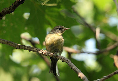 Photograph - Tennessee Warbler by Debbie Oppermann