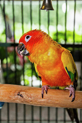 Photograph - Tequila The Sun Conure by Bob Slitzan