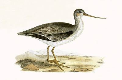Sandpiper Painting - Terek Godwit by English School
