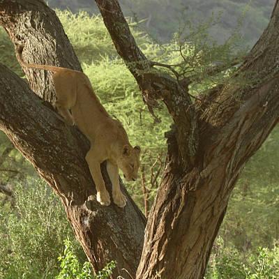 Photograph - Terengeti Lioness by Joseph G Holland