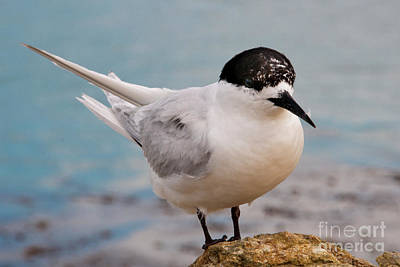 Art Print featuring the photograph Tern 1 by Werner Padarin