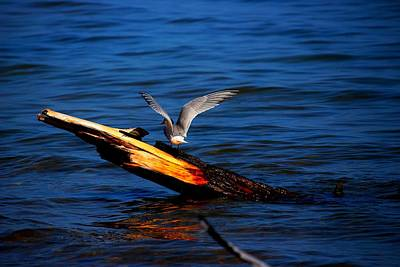 Photograph - Tern Around by Amanda Struz