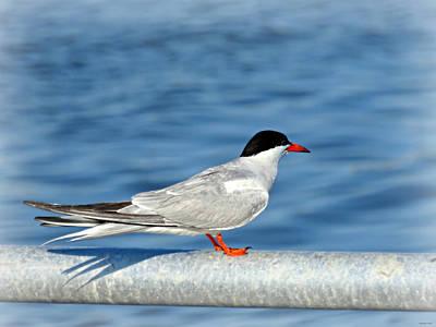 Photograph - Tern by Brenda Conrad
