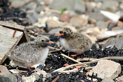 Photograph - Tern Chicks by David Grant