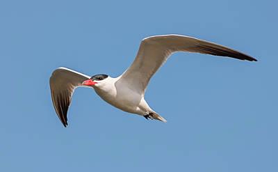 Photograph - Tern Fishing by Loree Johnson