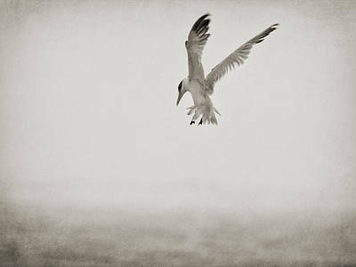 Photograph - Tern Hoovering by Charles McKelroy