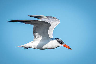 Photograph - Tern Inflight by Paul Freidlund