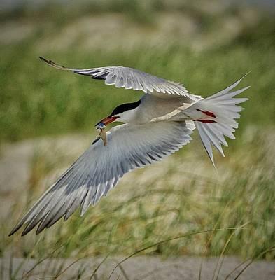 Photograph - Tern by John Kearns