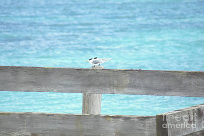Photograph - Terns by Cassandra Buckley