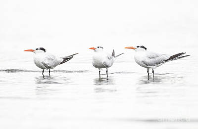Photograph - Tern's In Triplicate  by Ruth Jolly