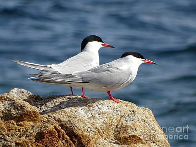 Terns On A Rock Art Print by Lainie Wrightson