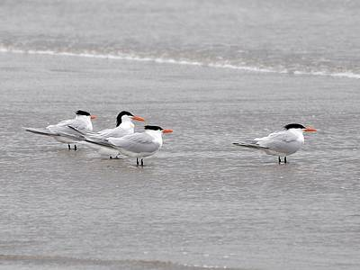 Terns Wading Art Print by Al Powell Photography USA