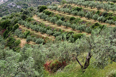 Photograph - Terraced Groves by Shirley Mitchell