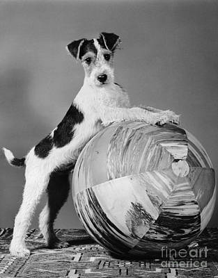 Terrier In Playful Pose, C.1940s Art Print by H. Armstrong Roberts/ClassicStock