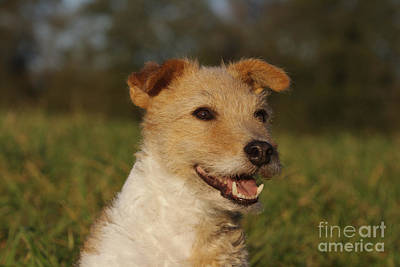 Panting Dog Photograph - Terrier Mix by Brinkmann/Okapia