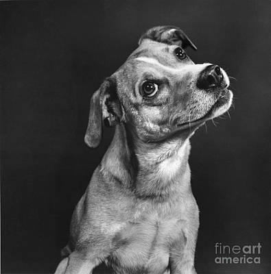 Animal Portraiture Photograph - Terrier by Ylla
