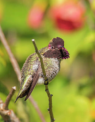 Photograph - Territorial Anna's Hummingbird by Loree Johnson