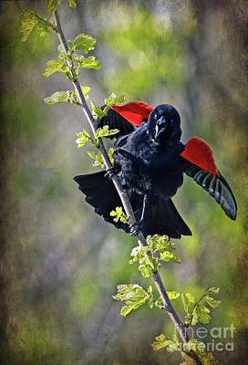 Photograph - Territorial Red-winged Blackbird by Elizabeth Winter