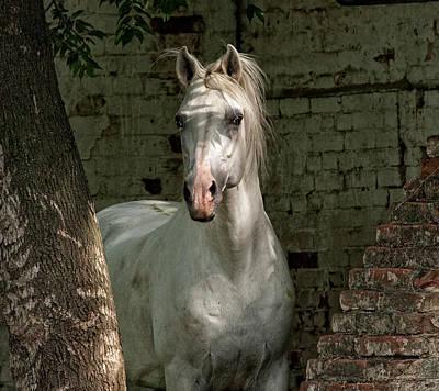 Konik Photograph - Tersk Stallion by Artur Baboev