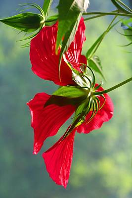 Photograph - Texas Star Hibiscus 1 by Kathryn Meyer