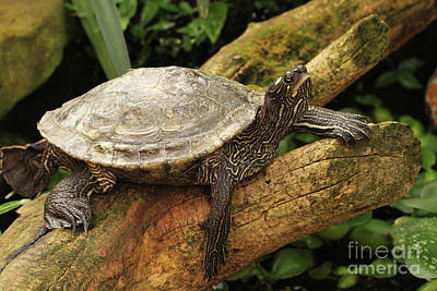 Tess The Map Turtle #3 Art Print