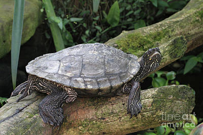 Photograph - Tess The Map Turtle by Judy Whitton