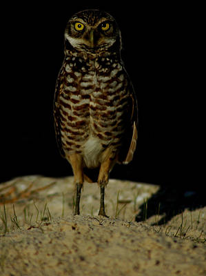 Photograph - Burrowing Owl by David Weeks