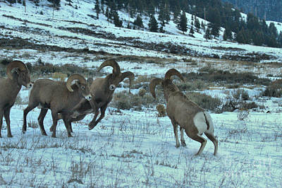 Photograph - Teton Bighorn Bashers by Adam Jewell