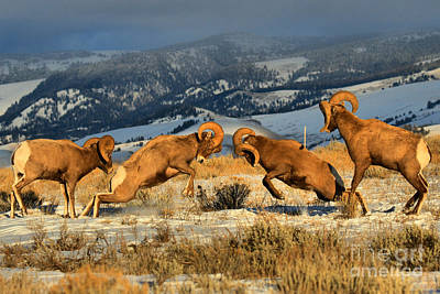 Photograph - Teton Bighorn Brawlers Crop 2 by Adam Jewell