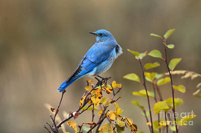 Photograph - Teton Bluebird In The Fall by Adam Jewell