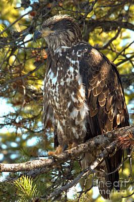Photograph - Teton Golden Eagle by Adam Jewell
