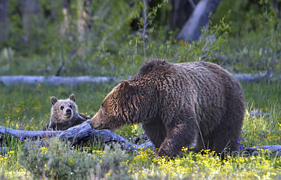 Teton Grizzly Mama And Cub Art Print