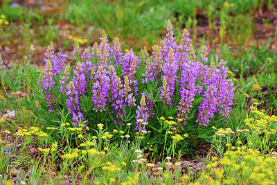 Photograph - Teton Lupines by Greg Norrell