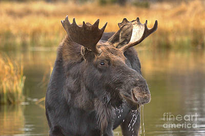 Moose Smile Print by Adam Jewell