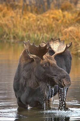 Photograph - Teton Moose Lunch Drool by Adam Jewell