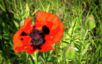 Photograph - Teton Poppy by Greg Norrell