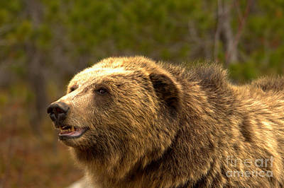Photograph - Teton Toothy Grizzly Smile by Adam Jewell