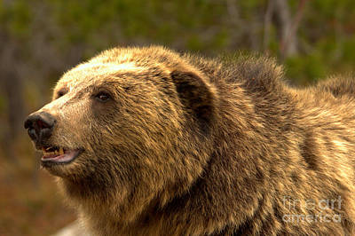 Photograph - Teton Toothy Grizzly Smile Closeup by Adam Jewell