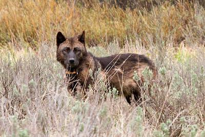 Photograph - Teton Wolf by Steve Stuller