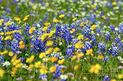 Texas Blue Bonnet  Art Print
