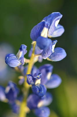 Photograph - Texas Blue Bonnet Details 1 by Carolina Liechtenstein