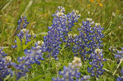 Photograph - Texas Bluebonnet by Frank Madia