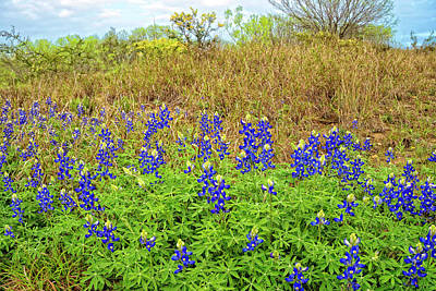 Photograph - Texas Bluebonnet by Tina Ernspiker