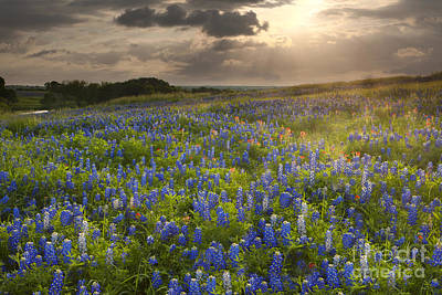 Photograph - Texas Bluebonnets At Sunrise by Keith Kapple