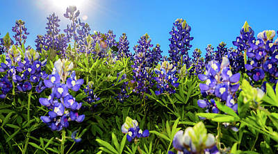 Photograph - Texas Bluebonnets Backlit by Greg Reed