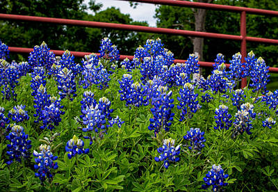 Robert Bellomy Royalty-Free and Rights-Managed Images - Texas Bluebonnets in Ennis by Robert Bellomy