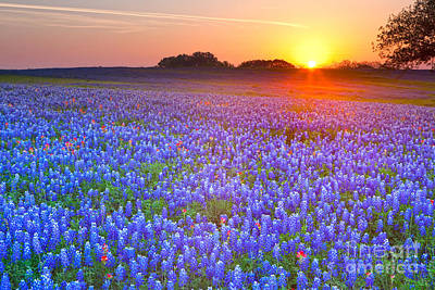 Photograph - Texas Bluebonnets by Keith Kapple